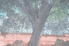 Mini-Oak-Tree